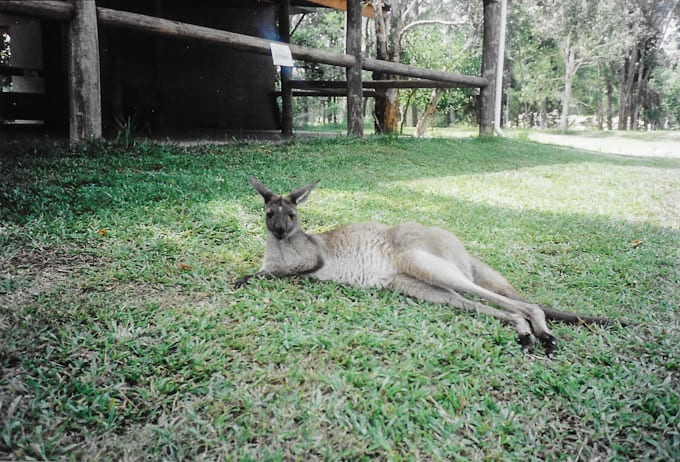 kangaroo | The Clever Carrot