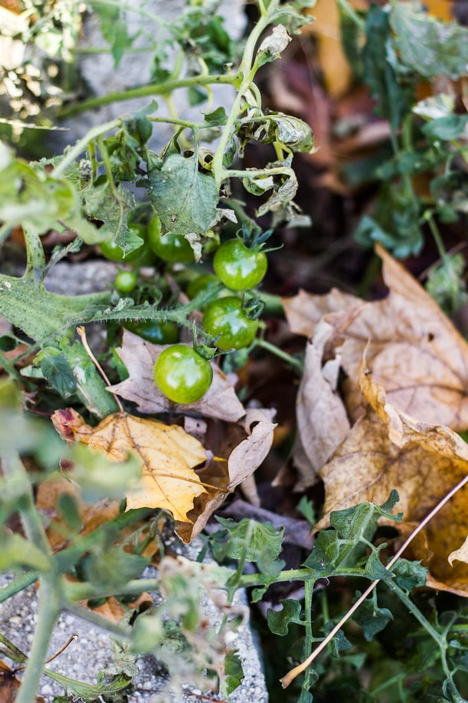 baby green tomatoes | theclevercarrot.com