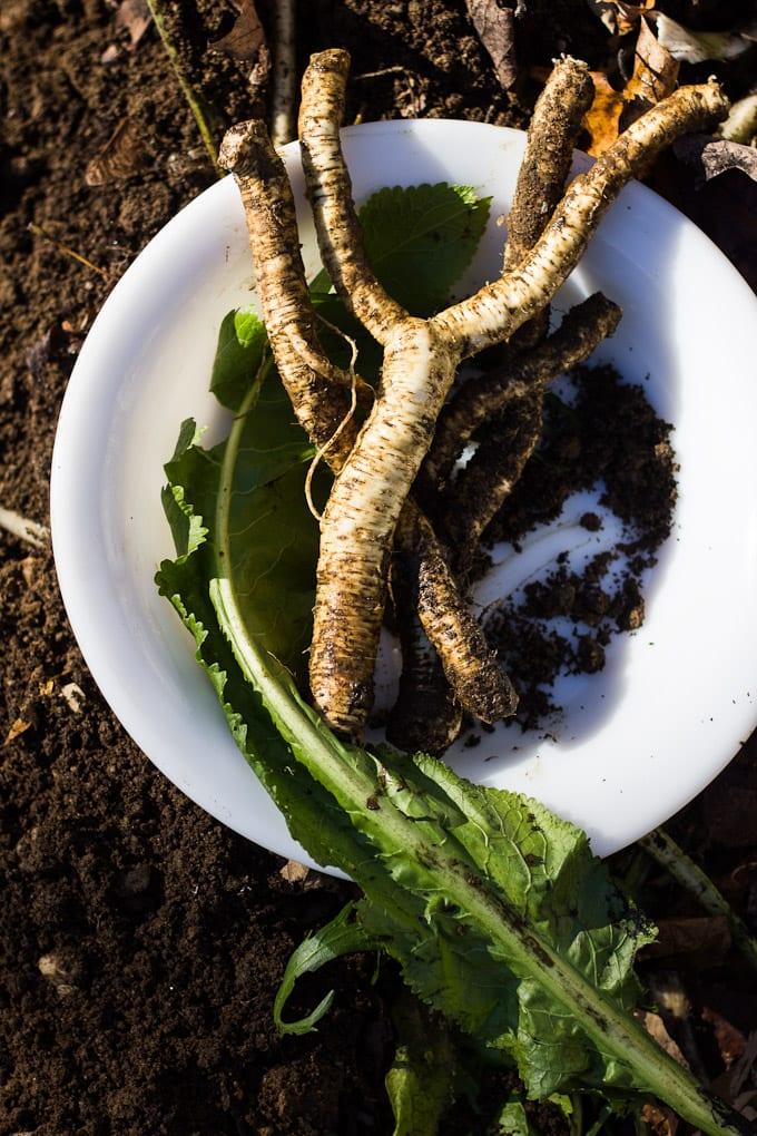 horseradish stalks | theclevercarrot.com