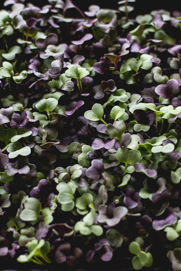 purple radish micro greens | theclevercarrot.com